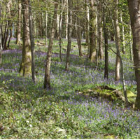 Bluebell-wood.jpg